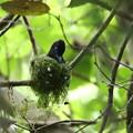 写真: 営巣中のサンコウチョウ♀(2)FK3A9025