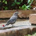イソヒヨドリ幼鳥(1)FK3A1089