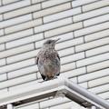 イソヒヨドリ幼鳥(4)FK3A1117