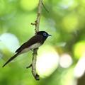 写真: サンコウチョウ(2)巣立ち後の幼鳥を見守る親鳥 044A4007