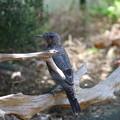 イソヒヨドリ♂幼鳥(1)FK3A1733