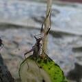 脱皮後の殻を食べるスズムシ幼虫(1)IMG_4603 by ふうさん