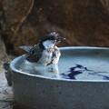 シジュウカラ親鳥 FK3A2487