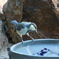 シジュウカラ幼鳥(1)FK3A2494
