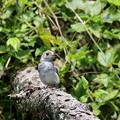 写真: コサメビタキ幼鳥(2)FK3A2592