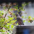 イソヒヨドリ♂若鳥(2)FK3A3706