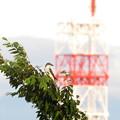 写真: サンショウクイ(1)IMG_6098 by ふうさん