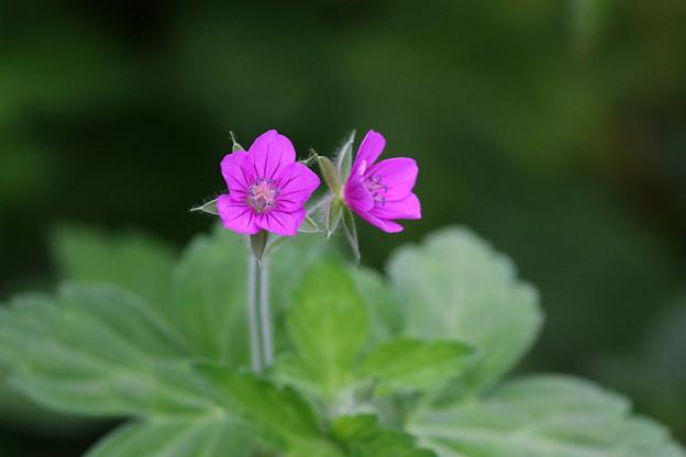 写真: ゲンノショウコ(2)赤花 FK3A4574