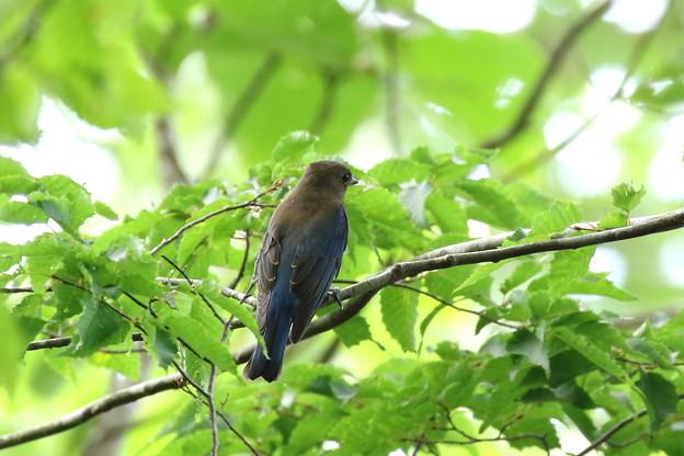 オオルリ♂若鳥 FK3A4493