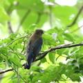 写真: オオルリ♂若鳥 FK3A4493