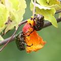 1.ヤマボウシの実を食べるシロテンハナムグリ FK3A7062