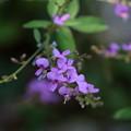写真: クサハギ FK3A7303