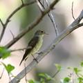 写真: オオルリ♀(2)若鳥 FK3A7225