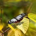 翅を休めるアサギマダラ FK3A9922