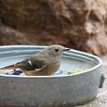 ジョウビタキ♀水浴び(3)FK3A1241