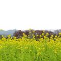 菜の花(3)IMG_7087 by ふうさん