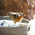 ジョウビタキ♀水浴び(2)FK3A2976