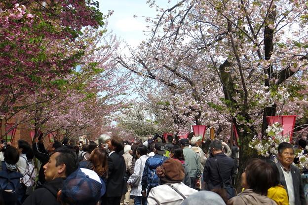 造幣局桜の通り抜け(2)IIMG_5644