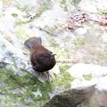 カワガラス幼鳥(3)FK3A9299