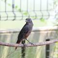 イソヒヨドリ若鳥♂(2)FK3A6093