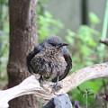 イソヒヨドリ幼鳥♂(4)FK3A5574