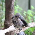 イソヒヨドリ幼鳥♂(5)FK3A5580