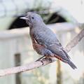 イソヒヨドリ若鳥♂(1)FK3A6518