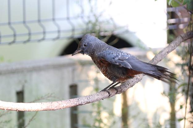 イソヒヨドリ若鳥♂(3)FK3A6542