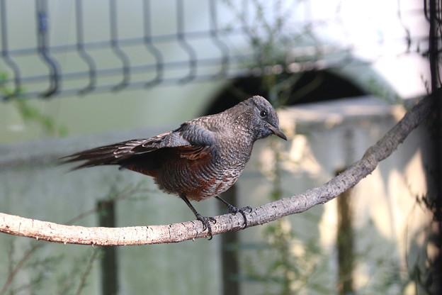 イソヒヨドリ若鳥♂(5)FK3A6559