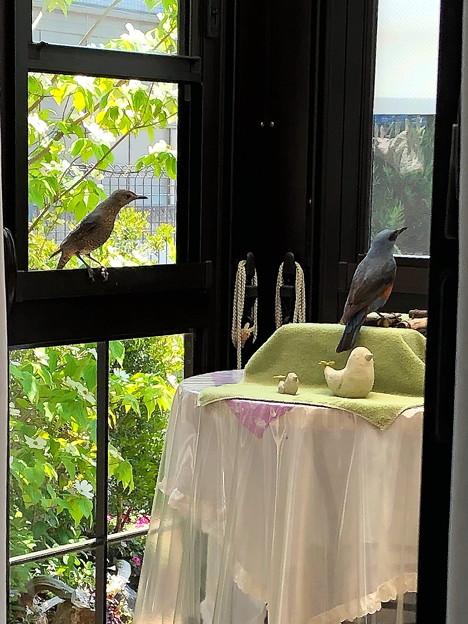 イソヒヨドリ親鳥(♂♀)IMG_8721