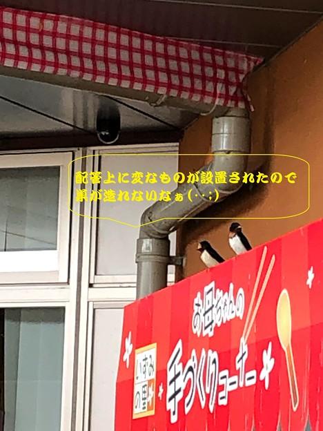 ツバメ(4)IMG_8837 by ふうさん2