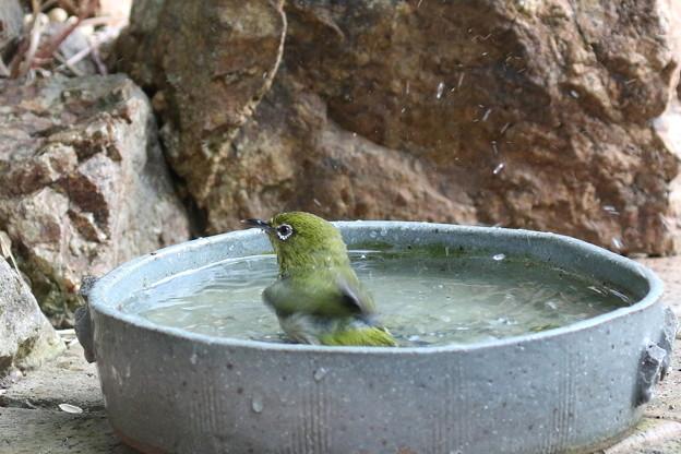 メジロ水浴び(2)FK3A3716