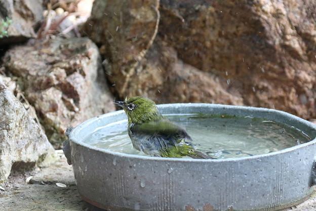 メジロ水浴び(4)FK3A3731