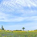 ヒマワリ畑(3)IMG_9541 by ふうさん
