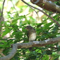 オオルリ♂若鳥(1)FK3A4140