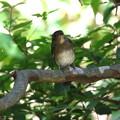 オオルリ♂若鳥(2)FK3A4143