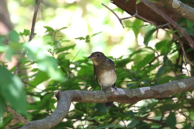 オオルリ♂若鳥(3)FK3A4145