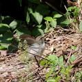 ウグイス幼鳥(1)FK3A4126