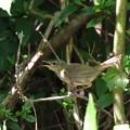 ウグイス幼鳥(2)FK3A4135
