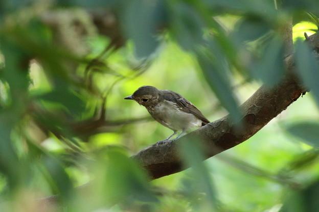 キビタキ幼鳥 FK3A4123