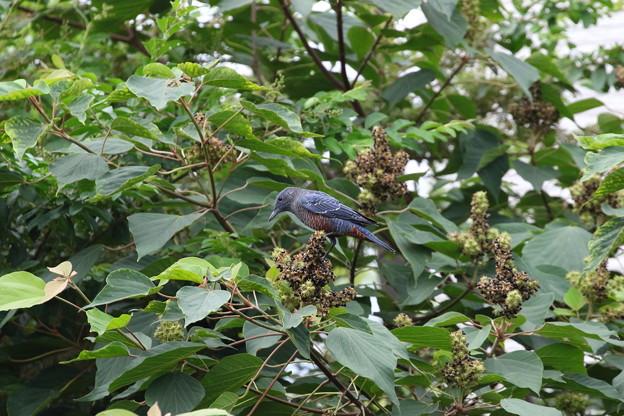 イソヒヨドリ♂若鳥(2)FK3A3972 近所のアカメガシワの実の採餌に