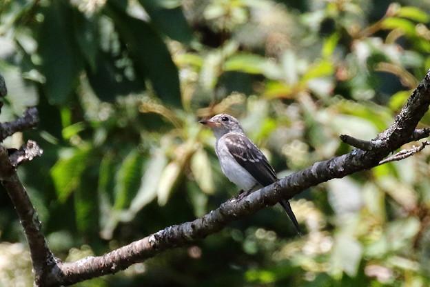 コサメビタキ幼鳥(1)FK3A4075