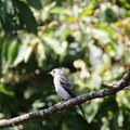 コサメビタキ幼鳥(2)FK3A4072