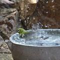 Photos: メジロ水浴び(2)FK3A4231