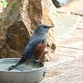 Photos: お庭の水場にやって来たイソヒヨドリ♂(3)FK3A5586