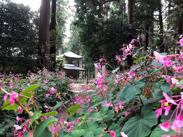 Photos: 1.シュウカイドウと岩湧寺(1)IMG_1079