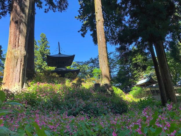 Photos: 4.シュウカイドウと岩湧寺(2)IMG_9863 by  by ふうさん