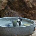 Photos: シジュウカラ♀水浴び(2)FK3A5550
