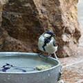 Photos: シジュウカラ♀水浴び(3)FK3A5556