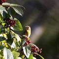 ムギマキ若鳥(1)044A5162